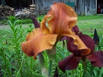 Rust German Iris