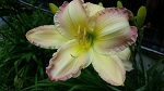 Beautiful Edging Daylily