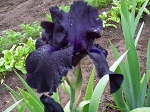 Black Suited German Iris-sold out