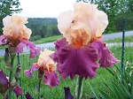Frimmouse German Iris