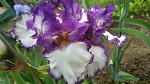 Got the Melody German Iris-sold out