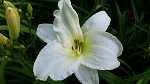 Lady Elizabeth Daylily-sold out