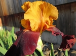 Supreme Sultan German Iris-sold out