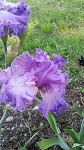 Morning World German Iris